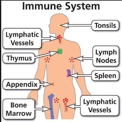 Organ of The Immune System