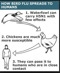 How Avian Flu Affect The Body