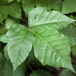 Can You Get Poison Ivy By Burning It?